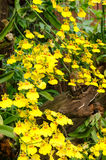 Yellow oncidium Goldiana orchid Stock Images