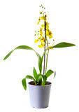 Yellow Oncidium orchid Royalty Free Stock Images