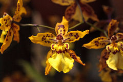 Yellow oncidium orchid flower blooms in a botanical garden Stock Images