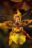 Yellow oncidium orchid flower blooms in a botanical garden Royalty Free Stock Photos