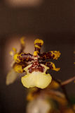 Yellow oncidium orchid flower blooms in a botanical garden Stock Photography