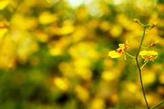 Yellow Oncidium orchid flower with soft focus and blur yellow flower garden background. Stock Photo