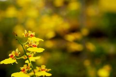 Yellow Oncidium orchid flower with soft focus and blur yellow flower garden background. Stock Images