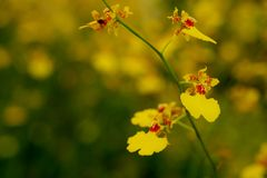 Yellow Oncidium orchid flower with soft focus and blur yellow flower garden background. Royalty Free Stock Photos