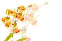 Yellow Oncidium orchid Royalty Free Stock Photo