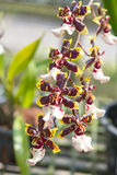 Yellow oncidium orchids bloom Stock Photography