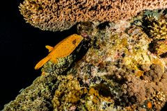 Yellow One Boxfish swimming in the Red Sea. Eilat Israel a.e stock photos