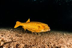 Yellow One Boxfish swimming in the Red Sea. Eilat Israel a.e stock images
