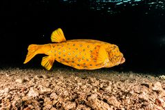 Yellow One Boxfish swimming in the Red Sea. Eilat Israel a.e royalty free stock images
