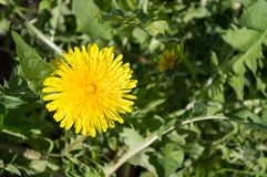 Yellow dandelion in the grass stock photography