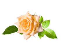 Yellow one rose Royalty Free Stock Images