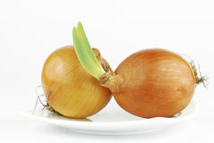 Yellow onion with green shoots Stock Image