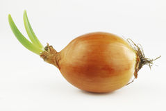 Yellow onion with green shoots Stock Images