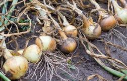 Yellow onions Royalty Free Stock Photo