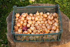 Yellow Onions In Box Royalty Free Stock Photography