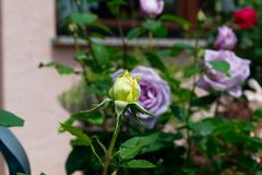 Yellow opening rose bud and lilac rose blossoms - Garden flowers blooming in the summer. Vibrant green yellow rose bud and lilac roses blooming on the bush Stock Photo