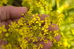 Yellow Opposite Leaved Golden Saxifrage Stock Photo