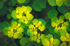 Yellow Opposite Leaved Golden Saxifrage Stock Image