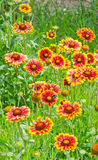 Yellow-orange λουλούδια aristata Gaillardia, πράσινος τομέας Στοκ φωτογραφίες με δικαίωμα ελεύθερης χρήσης