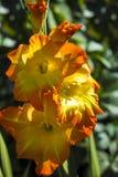 Yellow-orange λουλούδι ενός gladiolus Στοκ Φωτογραφία