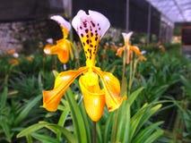 Yellow-orange χειμώνας λουλουδιών ορχιδεών που ανθίζουν μόνο Στοκ Εικόνες