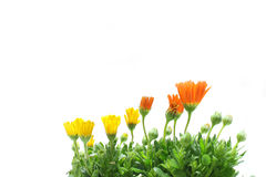 Yellow and orange African daisy blooming Stock Photos