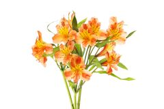 Yellow and orange alstroemeria. Flowers isolated against white royalty free stock image
