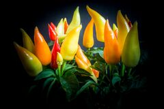 Free Yellow, Orange And Red Chili Peppers On A Chili Pepper Plant Capsicum Growing In The Dark Stock Photography - 187361842