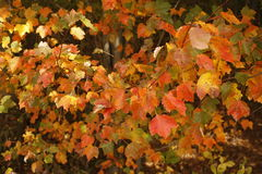 Yellow Orange Autumn Leaves Royalty Free Stock Photography