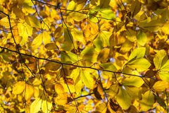Yellow and Orange Autumn Leaves Royalty Free Stock Image