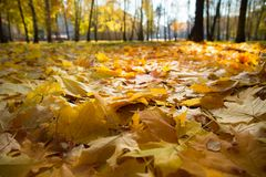 Yellow and orange autumn leaves in beautiful fall park. Stock Images