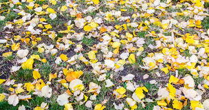 Yellow-orange autumn leaves on the ground texture Royalty Free Stock Photography