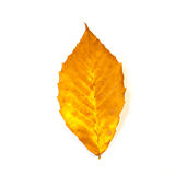 Yellow and Orange Beech Leaf Isolated on White Royalty Free Stock Image
