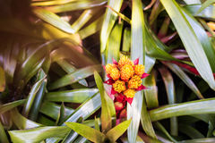 Yellow Orange bromeliad rosette shape flowers in bloom Royalty Free Stock Photography