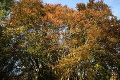Yellow, orange and brown leaves on trees in the autumn season in public park Schakenbosch in Leidschendam. Yellow, orange and brown leaves on trees in the royalty free stock photo
