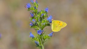 Yellow and orange butterfly laid on a blue and pink flower. In the summer meadow stock photography