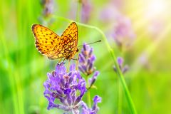 Yellow and orange butterfly on the lavender. Butterfly on the purple lavender closeup and sunrays and blurry green background Stock Photo