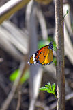 Yellow orange butterfly sitting on tree branch. A butterfly is sitting on a tree branch in forest at sukhna lake Chandigarh royalty free stock photography