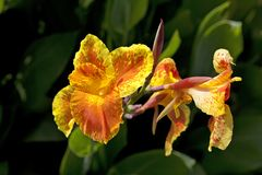 Yellow orange Canna flower Royalty Free Stock Photo