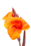 Yellow orange Canna Lily fower with drop of water. Royalty Free Stock Photo