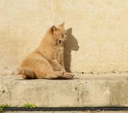 Yellow orange cat relaxing on a sun in the bar. Valletta, Malta. Maltese cat. Cat relaxing on a sun. Funny cat Royalty Free Stock Images
