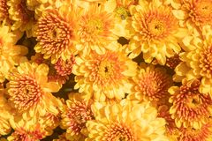 Free Yellow Orange Chrysanthemum Or Mums Flowers With Natural Light Background Stock Image - 184040411