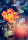 Yellow orange color rose flower. Close up royalty free stock photography