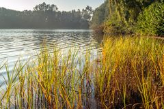 Yellow and orange colored leaves of reeds and rushes at the edge. Idyllic image of yellow colored leaves of reeds and rushes at the edge of a lake on an early royalty free stock photos