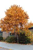 Yellow and orange colored leaves at a tree on the street in Nieuwerkerk aan den IJssel in the Netherlands. Yellow and orange colored leaves at a tree on the stock images