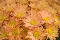 Pretty Mums for Autumn Stock Image