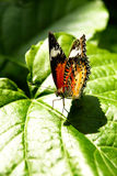 Yellow orange colorful butterfly resting on a green leaf drying its wings. Yellow orange colorful butterfly resting on a green leaf drying its wings in the sun Royalty Free Stock Photography