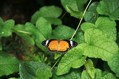 Yellow orange colorful butterfly resting on green leaf drying its wings in the sun. Yellow orange colorful butterfly resting on green leaf drying its wings in Royalty Free Stock Photo