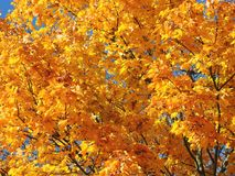Colorful maple tree in autumn, Lithuania Stock Photography