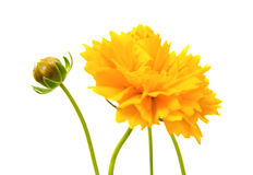 Yellow-orange Coreopsis Stock Photos